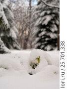 Купить «Подснежники под снегом», эксклюзивное фото № 25701338, снято 20 февраля 2018 г. (c) Svet / Фотобанк Лори