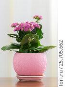 Купить «Blossoming Pink Kalanchoe in pot», фото № 25705662, снято 4 марта 2017 г. (c) Володина Ольга / Фотобанк Лори