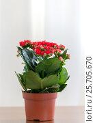 Купить «Red flowering Kalanchoe in pot», фото № 25705670, снято 4 марта 2017 г. (c) Володина Ольга / Фотобанк Лори