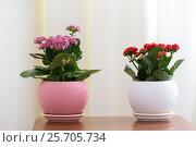 Купить «Red and pink Kalanchoe in interior», фото № 25705734, снято 4 марта 2017 г. (c) Володина Ольга / Фотобанк Лори