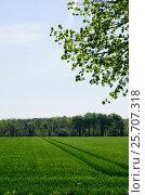 Купить «Зеленое поле со всходами», фото № 25707318, снято 13 мая 2016 г. (c) Татьяна Кахилл / Фотобанк Лори