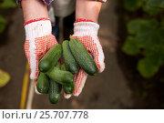 Купить «hands of farmer with cucumbers at farm greenhouse», фото № 25707778, снято 25 августа 2016 г. (c) Syda Productions / Фотобанк Лори