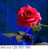 Купить «Красивая роза на синем фоне», эксклюзивное фото № 25707790, снято 8 марта 2017 г. (c) Яна Королёва / Фотобанк Лори