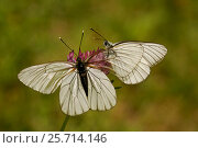 Купить «Black veined white butterfly (Aporia crataegi) male approaching female, Hautes-Alpes, France, June.», фото № 25714146, снято 5 апреля 2020 г. (c) Nature Picture Library / Фотобанк Лори