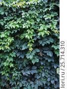 Купить «Девичий виноград. Стена заросшая густой зеленой лианой», фото № 25714310, снято 14 августа 2016 г. (c) Наталья Осипова / Фотобанк Лори