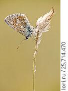 Купить «Adonis blue butterfly (Lysandra bellargus), Baronnies Provencales Regional Natural Park, France, September.», фото № 25714470, снято 15 августа 2018 г. (c) Nature Picture Library / Фотобанк Лори