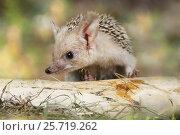 Купить «African hedgehog outdoors», фото № 25719262, снято 7 марта 2017 г. (c) Алексей Кузнецов / Фотобанк Лори
