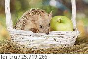 Купить «Hedgehog in a basket with apple», фото № 25719266, снято 7 марта 2017 г. (c) Алексей Кузнецов / Фотобанк Лори