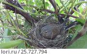 Купить «The bird feeds the chicks in the nest. Close-up», видеоролик № 25727794, снято 11 марта 2017 г. (c) Mikhail Erguine / Фотобанк Лори