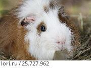 Купить «Portrait of a guinea pig», фото № 25727962, снято 7 марта 2017 г. (c) Алексей Кузнецов / Фотобанк Лори
