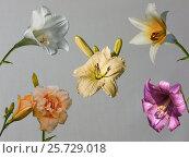 Коллаж из цветков лилий и лилейника. Стоковое фото, фотограф Геннадий Раевский / Фотобанк Лори