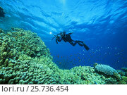 Купить «Camera man scuba diver swims near Dome Coral or Hump Coral (Porites nodifera) Red sea, Sharm El Sheikh, Sinai Peninsula, Egypt», фото № 25736454, снято 5 ноября 2016 г. (c) Некрасов Андрей / Фотобанк Лори