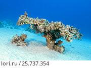 Single Table Coral (Acropora pharaonis) on sand bottom, Red sea, Sharm El Sheikh, Sinai Peninsula, Egypt. Стоковое фото, фотограф Некрасов Андрей / Фотобанк Лори