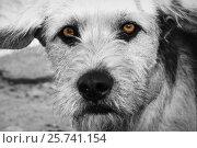 Купить «Brown Sad Dog. (BW)», фото № 25741154, снято 23 августа 2012 г. (c) Vladislav Vasilev / Фотобанк Лори