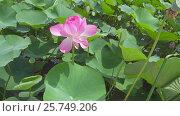 Купить «Lotus flower with pink petals close-up», видеоролик № 25749206, снято 28 февраля 2017 г. (c) Михаил Коханчиков / Фотобанк Лори