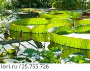 Купить «Victoria Amazonian Water Lily ,Huge floating lotus», фото № 25755726, снято 9 августа 2016 г. (c) Андрей Липинский / Фотобанк Лори
