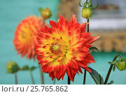 Red and yellow Dahlia flowers in summer time. Стоковое фото, фотограф Шилер Анастасия / Фотобанк Лори
