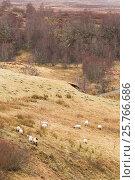 Купить «Sheep grazing upland pasture, Strathspey, Scotland, UK, April.», фото № 25766686, снято 17 августа 2018 г. (c) Nature Picture Library / Фотобанк Лори