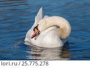 Купить «Mute swan», фото № 25775278, снято 15 марта 2017 г. (c) age Fotostock / Фотобанк Лори