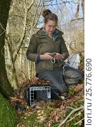 Купить «Catherine McNicol logging the GPS position of a live capture trap she has set for Grey Squirrels (Sciurus carolinensis) to monitor their population in...», фото № 25776690, снято 24 октября 2018 г. (c) Nature Picture Library / Фотобанк Лори