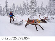 Купить «RF - Reindeer sledding  with Sami reindeer herdsman  in -25 degrees. Jukkasjarvi, Lapland, Laponia, Norrbotten county, Sweden. January 2016.», фото № 25778854, снято 19 июля 2019 г. (c) Nature Picture Library / Фотобанк Лори