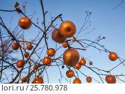 Золотые яблоки. Стоковое фото, фотограф Elena Kucherenko / Фотобанк Лори