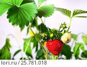 Клубника на веточке с листиками. Стоковое фото, фотограф Беляева Юлия / Фотобанк Лори