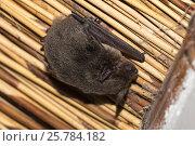 Cape serotine (Neoromicia capensis) bat, Kgalagadi transfrontier park, South Africa, June. Стоковое фото, фотограф Ann  & Steve Toon / Nature Picture Library / Фотобанк Лори