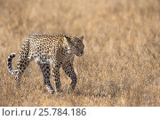 Leopard female (Panthera pardus), Kgalagadi transfrontier park, South Africa, June. Стоковое фото, фотограф Ann  & Steve Toon / Nature Picture Library / Фотобанк Лори