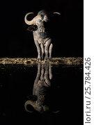 Купить «Cape buffalo (Syncerus caffer) drinking at waterhole at night, Zimanga private game reserve, KwaZulu-Natal, South Africa, September», фото № 25784426, снято 12 июля 2020 г. (c) Nature Picture Library / Фотобанк Лори