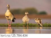 Купить «Egyptian goose (Alopochen aegyptiaca) with goslings, Zimanga private game reserve, KwaZulu-Natal, South Africa, September», фото № 25784434, снято 12 июля 2020 г. (c) Nature Picture Library / Фотобанк Лори