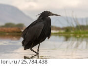 Купить «Black heron (Egretta ardesiaca), Zimanga private game reserve, KwaZulu-Natal, South Africa, September», фото № 25784438, снято 17 июня 2019 г. (c) Nature Picture Library / Фотобанк Лори
