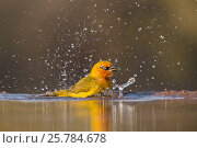 Spectacled weaver (Ploceus ocularis) bathing, Zimanga private game reserve, KwaZulu-Natal, South Africa, June. Стоковое фото, фотограф Ann  & Steve Toon / Nature Picture Library / Фотобанк Лори