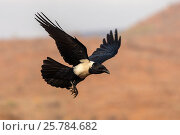Pied crow (Corvus albus), Zimanga private game reserve, KwaZulu-Natal, South Africa, September. Стоковое фото, фотограф Ann  & Steve Toon / Nature Picture Library / Фотобанк Лори