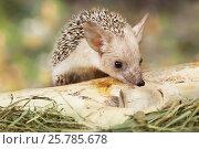 Купить «African hedgehog outdoors», фото № 25785678, снято 7 марта 2017 г. (c) Алексей Кузнецов / Фотобанк Лори