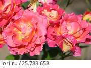 Розы в парке. Стоковое фото, фотограф Ирина Садовская / Фотобанк Лори