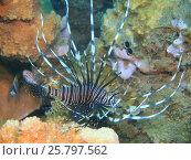 Крылатка или рыба-лев, остров Бали, Ловина риф, Индонезия. Стоковое фото, фотограф Александр Огурцов / Фотобанк Лори