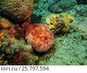 Морская звезда, остров Бали, Ловина риф, Индонезия. Стоковое фото, фотограф Александр Огурцов / Фотобанк Лори