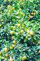 Decorative tangerines, фото № 25798586, снято 24 января 2017 г. (c) Владимир Докучаев / Фотобанк Лори