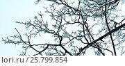 Заснеженные ветки дерева, панорама. Стоковое фото, фотограф Виталий Федоров / Фотобанк Лори