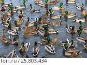 Купить «Mallards (Anas platyrhynchos) feeding in a city park. Washington, USA. November.», фото № 25803434, снято 7 апреля 2019 г. (c) Nature Picture Library / Фотобанк Лори