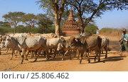 Shepherds drive a herd of cows Burma (2016 год). Редакционное видео, видеограф Михаил Коханчиков / Фотобанк Лори