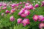 Куст розовых пионов, фото № 25812954, снято 19 июня 2015 г. (c) Мурина Ольга / Фотобанк Лори