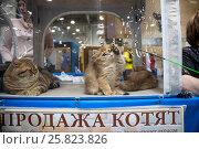 Купить «Продажа котят британской породы на выставке Кэтсбург в городе Москве, Россия», фото № 25823826, снято 4 марта 2017 г. (c) Николай Винокуров / Фотобанк Лори