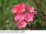 Розовые розы в летнем парке. Стоковое фото, фотограф Ирина Садовская / Фотобанк Лори