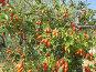 Спелые плоды шиповник на ветке, фото № 25829214, снято 3 сентября 2012 г. (c) Анатолий Заводсков / Фотобанк Лори