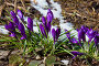 Первые весенние цветы - крокусы, фото № 25832902, снято 27 марта 2017 г. (c) Татьяна Белова / Фотобанк Лори