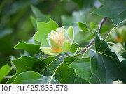 Купить «Цветок лириодендрона ( тюльпанное дерево ) на ветке», фото № 25833578, снято 20 июня 2015 г. (c) Терешко Сергей / Фотобанк Лори