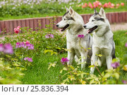 Two husky dogs sit on green grassy lawn in summer park. Стоковое фото, фотограф Losevsky Pavel / Фотобанк Лори