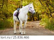 Купить «White bridled horse with saddle walks by alley in park», фото № 25836466, снято 20 сентября 2015 г. (c) Losevsky Pavel / Фотобанк Лори
